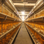 Light Requirements of Layer Hens Farming Equipment in Chicken House