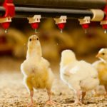 Automatic Chicken Waterer Can be Your Right Poultry Drinking System