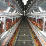 Automatic Chicken Farm Abounds With Battery Chicken Cage