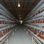 Introduce New Automatic Battery Chicken Cage for Your Battery Hens