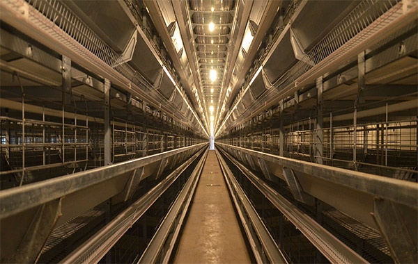 The lighting system are important for your laying hens health.