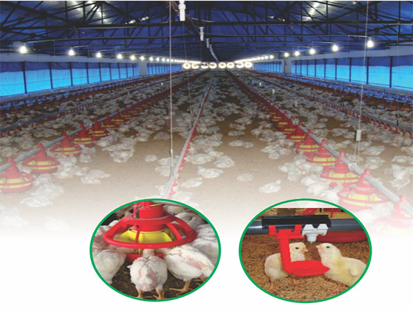 Chicken feeding system are necessary for modern poultry farm.