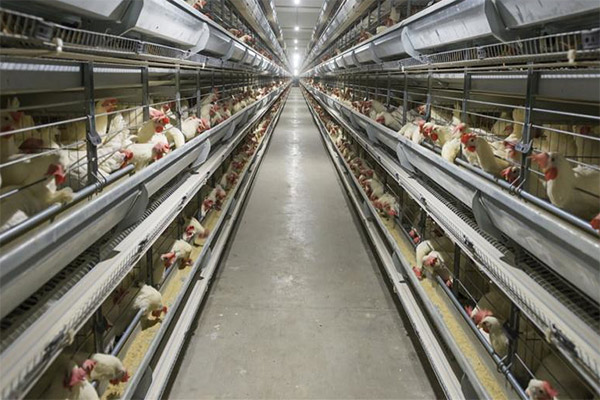 H-type hen cage have a large capacity of laying hens to increase your cage efficiency.