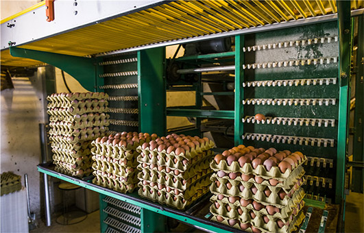 large quantity of chicken eggs will bring about you much profit for you.