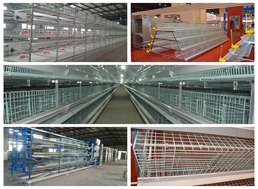 Chicken cages for sale are in good sales volume for their automatic and high benefits in poultry farm.