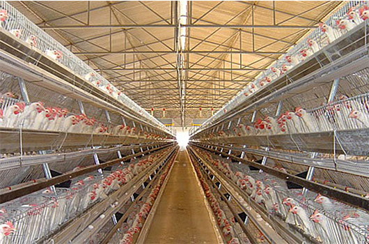 Our clients of chicken farm adopt the battery cage farming, that obtain objective benefits.