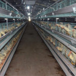 Raising Chickens for Hen Farm Used By Chicken Farm Equipment