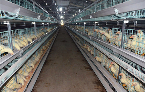 Our layer chicken cage equipment are very suitable for large scale raising chickens farm.