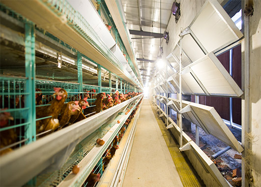 The good quality poultry farming equipment manufacturers mostly have the qualitied and professional poultry farm designs and good poultry environmental control system for chicken house.