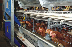 Poultry farming equipment of used chicken cage will be your suitable cgae farm for your flocks.