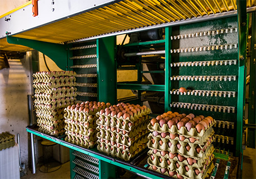 The eggs are collected in battery hen cages for large scale of poultry farming manufacturers.