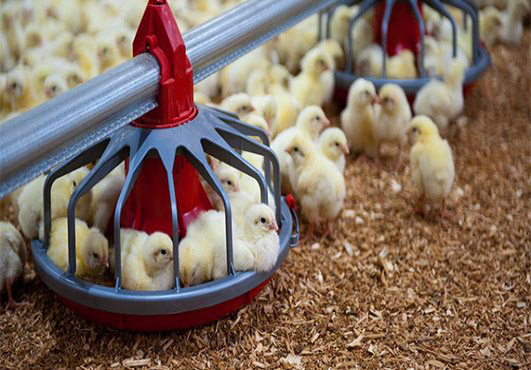Poultry feeders in Livi Machinery will raise your chickens more healthier.